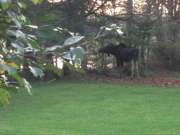 A moose munches the leaves of maple trees in Kathryn Olmstead's yard.
