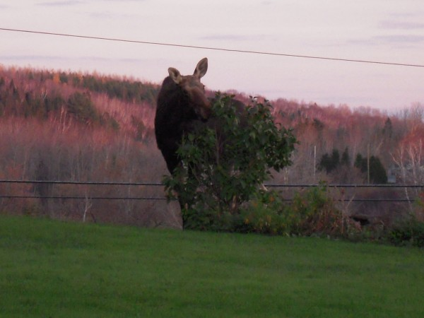 A moose cleans off the leaves of Kathryn's only lilac bush.