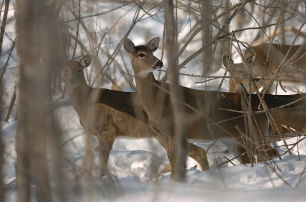Deer gather in a yard near the town of Sheridan in March 2008.