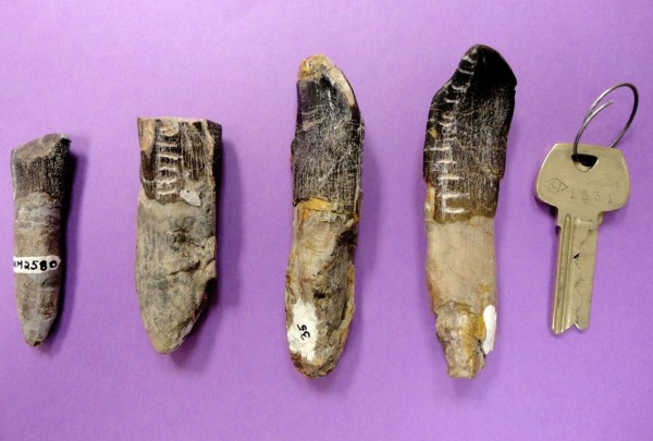 An undated photo released by Henry Fricke of Colorado College shows a sampling of dinosaur teeth from the Dinosaur National Monument in Utah. Scientists analyzing 32 teeth of plant-eating dinosaurs found that they migrated from the lowlands to highlands in search of food and water during the late Jurassic period. A new study suggests long-necked, plant-eating dinosaurs migrated hundreds of miles to find enough food for their gargantuan appetites.