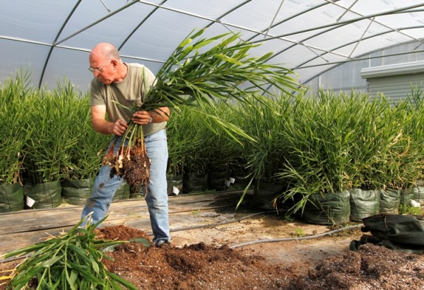 Bill Cox harvests baby ginger at his Casselmonte Farm in Powhatan, Va. The ginger is grown in a special soil mix in large bags. It's a fussy plant, but farmers find it brings its own rewards.