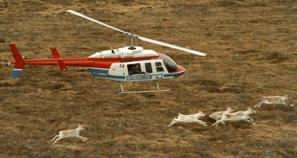 A helicopter with a Newfoundland wildlife official chases caribou along the Avalon Peninsula in Newfoundland, Canada, in an attempt to shoot one with a tranquilizer gun for relocation to Maine on Dec. 5, 1986.