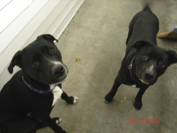 Mason (left) and Kenzi, pit bull mixes believed to be brother and sister, are among the five abandoned dogs that Old Town police officers have had to take to the Animal Orphanage, a nonprofit no-kill shelter serving Old Town and Orono.