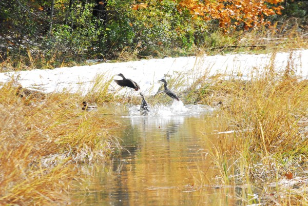 Some ducks take wing over a snow-covered marsh in Portland on Oct. 30, 2011.