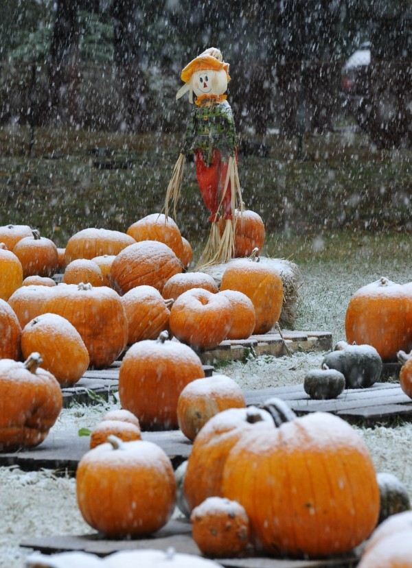 A scarecrow stands over snow-covered pumpkins at the pumpkin patch at the United Methodist Church of Sea Cliff in Sea Cliff, N.Y. on Saturday, Oct. 29, 2011. A classic nor'easter is causing snow up the East Coast, unseasonal for this time of year.