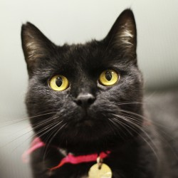 This Aug. 3, 2011, file photo shows a black cat in Chicago.