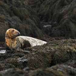Maine-born seal found abandoned as pup turning 40 with grace