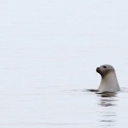 Wave of seal deaths linked to the flu