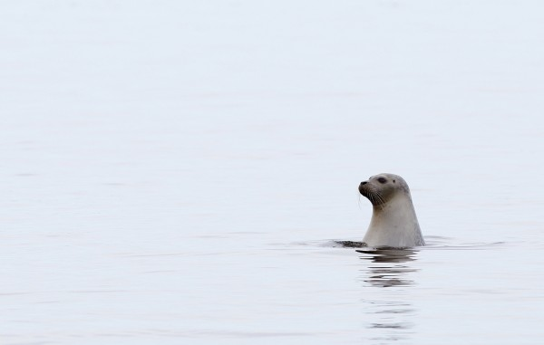 In this photo made Monday, April 25, 2011, a harbor seal surveys its surroundings off the coast of Camden.