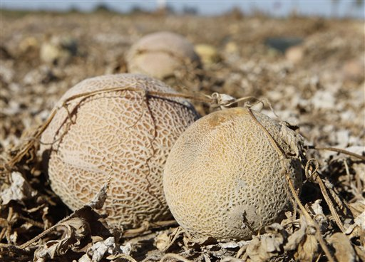 Cantaloupes rot in the afternoon heat on a field on the Jensen Farms near Holly, Colo.