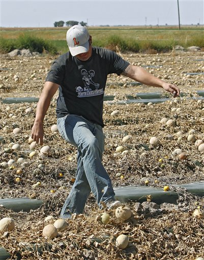 Owner Eric Jensen kicks a cantaloupe as he walks through a field of it on the Jensen Farms near Holly, Colo., on Wednesday, Sept. 28.