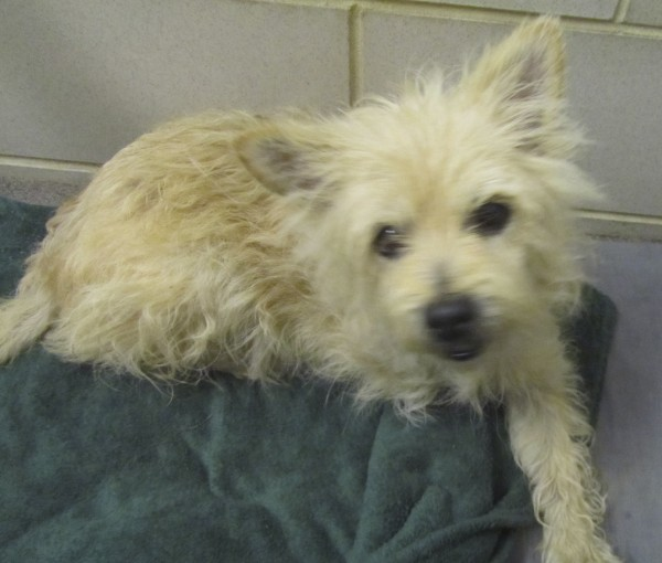 """Annie,"" a small, three-legged terrier, is among the dogs up for adoption at the Bangor Humane Society."