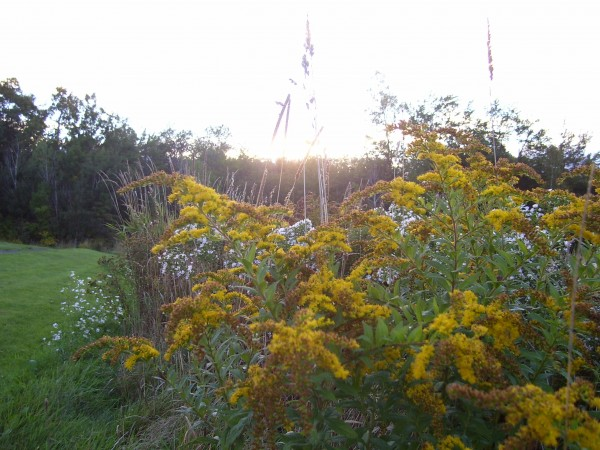 Rough-stemmed goldenrod in Unity Park.