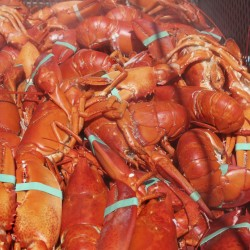 Fewer lobsters consumed at annual Rockland festival