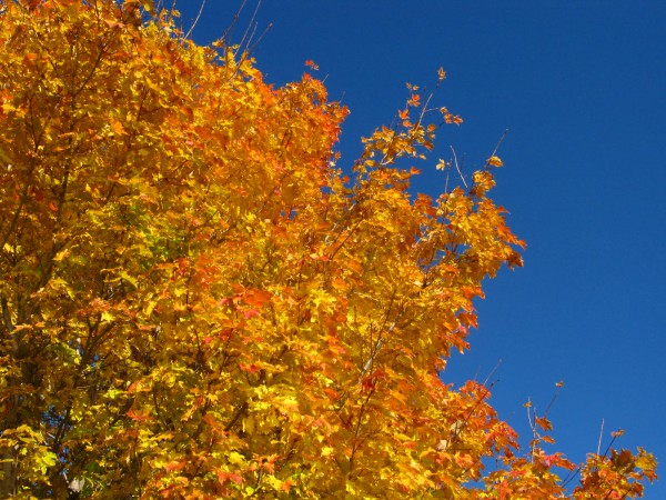 A maple against the sky.