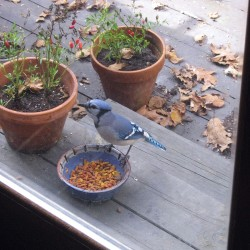 A blue jay steals food and shouts about it late in October.