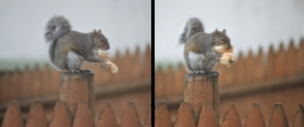 Not a neat eater, but this squirrel makes quick work of his tasty treat.