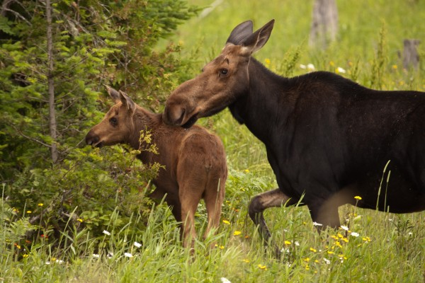 This photo of a moose cow and calf taken by Paul Pierce of Mars Hill was the grand prize winner of the Aroostook County Tourism summer photo contest.