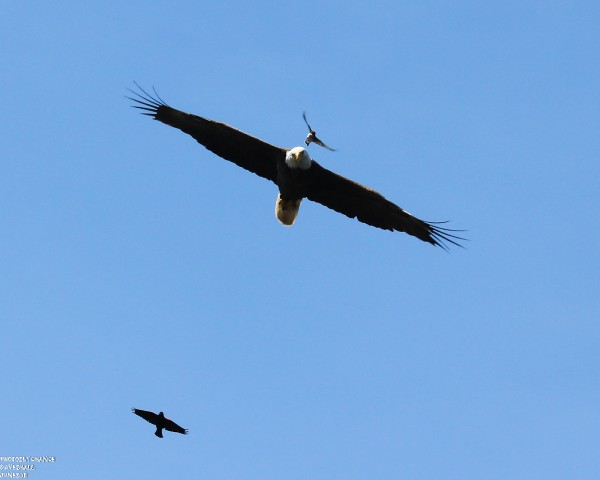 Earlier this summer a red-winged blackbird and a