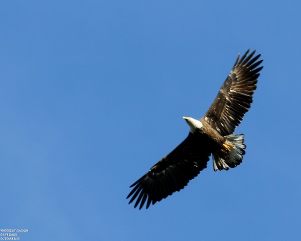 An American bald eagle soars over Birch Point Trail on Petit