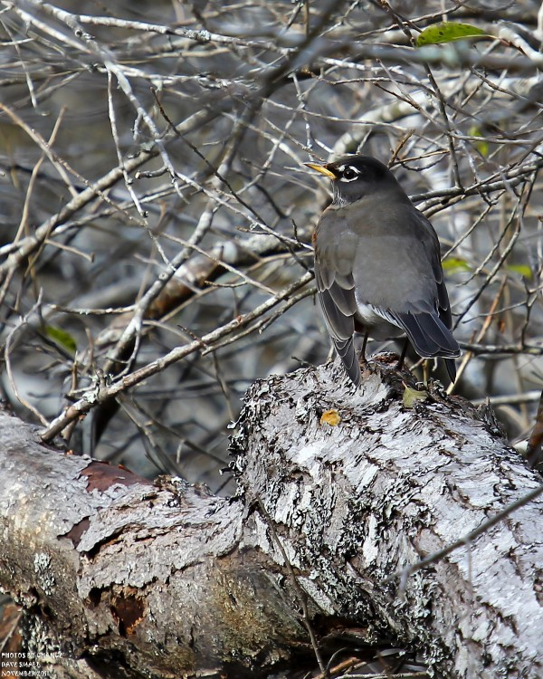 An American robin at Acadia National Park.