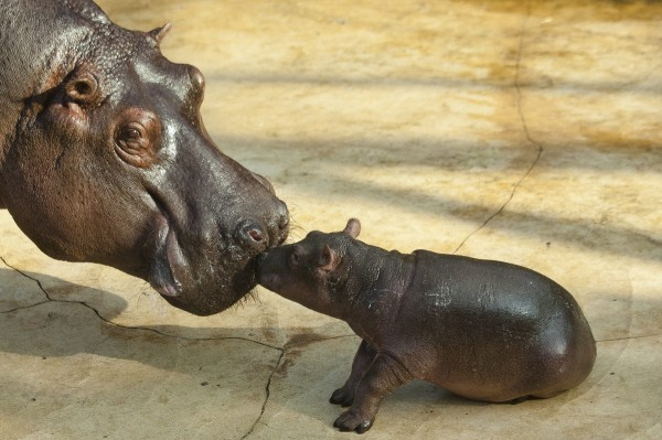 A hippo cub touches its mother Nicole during the first public presentation at the Zoo in Berlin, Tuesday, Nov. 1, 2011. The cub which is yet unnamed was born on Oct. 23, 2011 at the zoo.