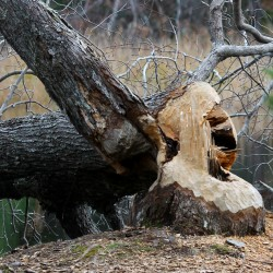 No beavers to see, but their work is evident.