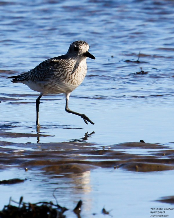 A black-bellied plover at Petit Manan National Wildlife Refuge.