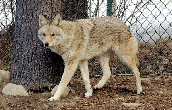 An Eastern coyote at the Maine Wildlife Park is seen in this 2004 Sun Journal file photo.