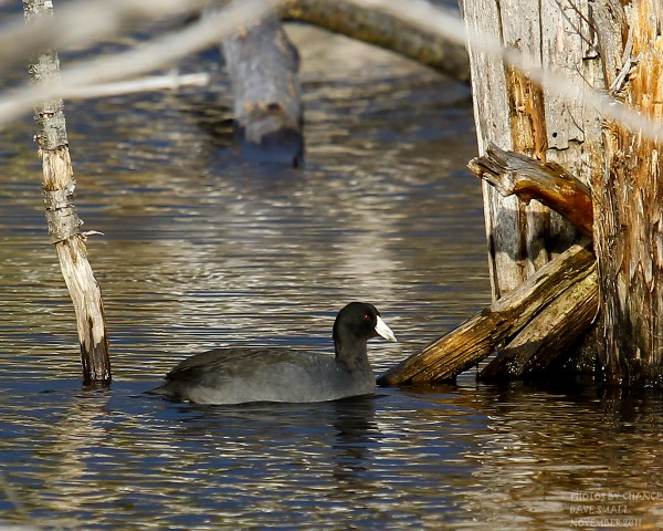A coot swims in Essex Street Marsh.