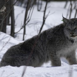 Lynx death may affect trapping case