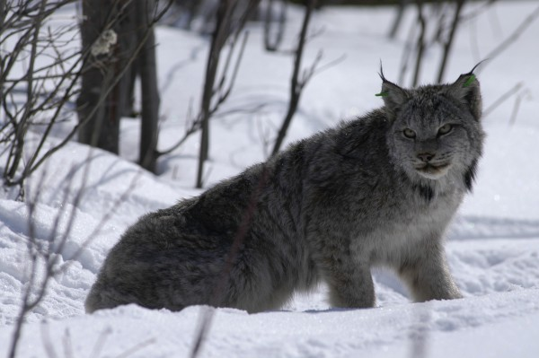 A Canada lynx photographed in March 2004 surveys its surroundings while slowly regaining its coordination after research biologists administered a drug to counteract the effects of anesthetizing the animal in northern Maine.
