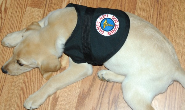 When Ruger wears his special service dog vest, he is officially on duty as Holden Bernier's diabetic alert dog. At just over three months old, Ruger has already alerted the family to a dangerous drop in Holden's blood sugar.