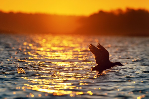 A duck takes flight at sunrise.