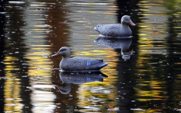 A pair of decoys float on a feeder stream near the Kennebec River in Bath. The first of two regular duck seasons in southern Maine recently ended. The next open season on black ducks, scaup, mergansers, pintails and american coots runs Nov. 8-Dec. 24.