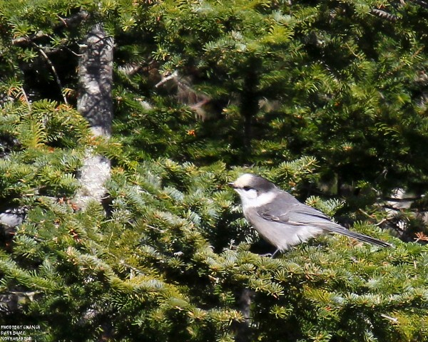 Gray jays go by many names.
