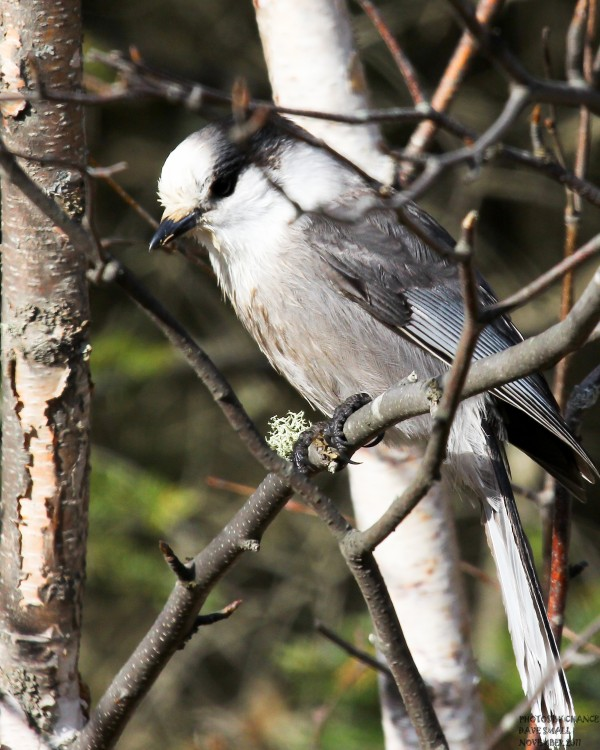 The gray jay goes by many names.