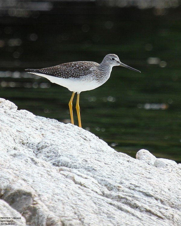 A greater yellowleg stands on a rock at Petit Manan National Wildlife Refuge.