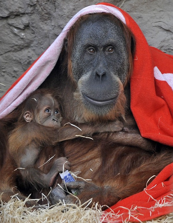 Newborn orangutan Awang seeks shelter in the arms of  his mother Farida at the tropical world at the zoo in Gelsenkirchen, Germany on Tuesday, Nov. 15, 2011. The name Awang is Malay and means &quotfirst son.&quot