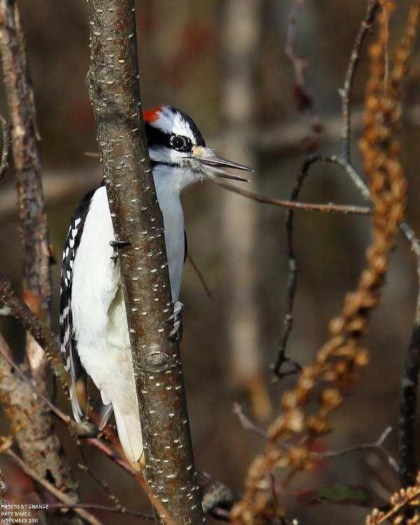 A hairy woodpecker perches in a tree.