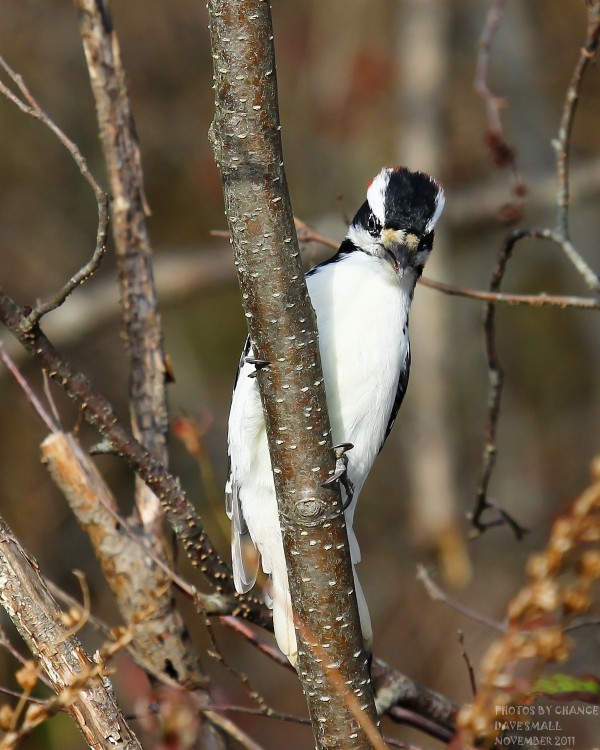 A hairy woodpecker peers at the photographer.