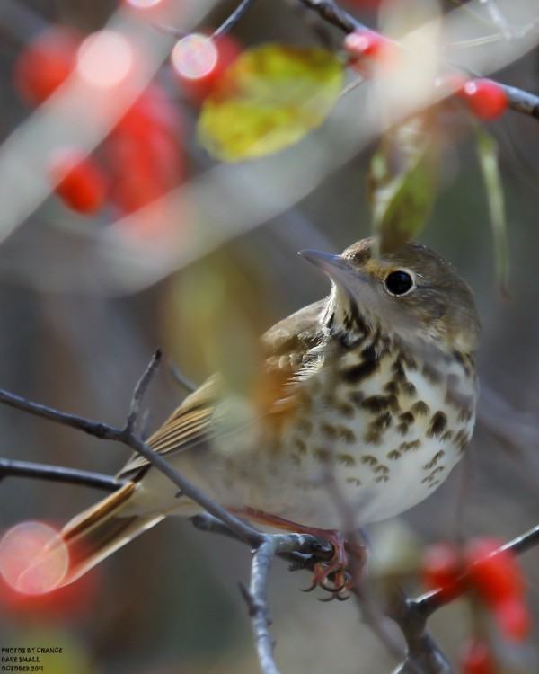 A hermit thrush framed by branches.