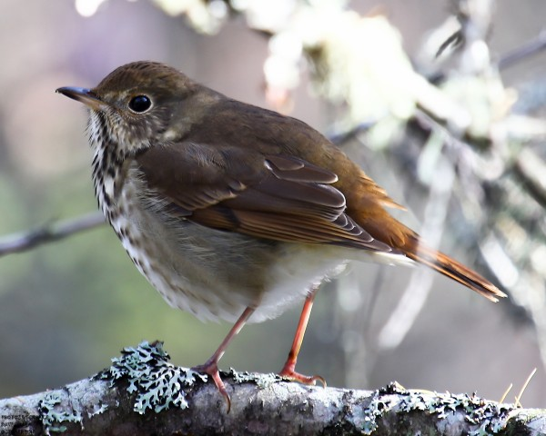 A hermit thrush perches on a branch at the Orono Bog Boardwalk.