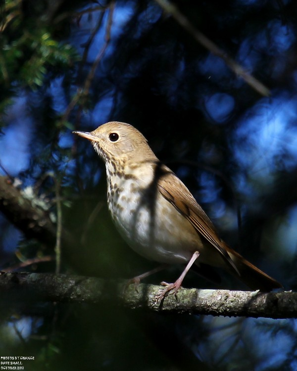 A University Forest find: the hard-to-find hermit thrush.