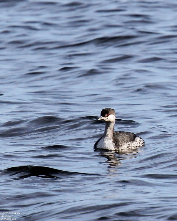 A horned grebe joins the fishing expedition.