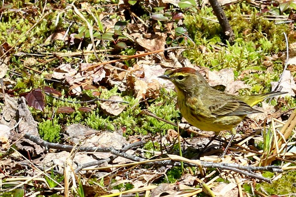 A palm warbler looks for a snack.