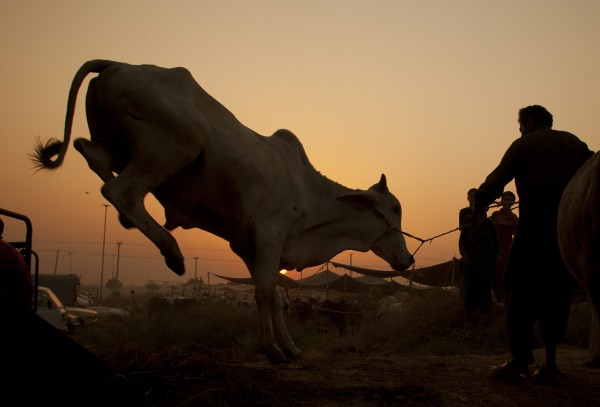 A Pakistani vendor off-loads a cattle from a truck at a market set up for shopping animals for the coming Eid-al-Adha festival in Islamabad, Pakistan on Tuesday, Nov 1, 2011. Pakistani Muslims will celebrate Eid al-Adha, or the Feast of the Sacrifice on Nov. 7, by slaughtering sheep, goats, cows or camels.