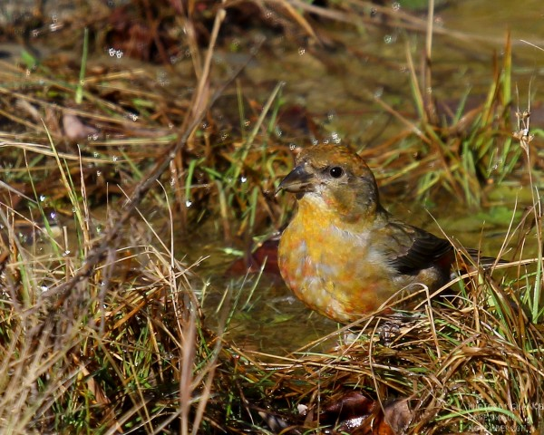 A red crossbill drinks from a pool at Sunkhaze Meadows National Wildlife Refuge, droplets of water flying from its head.