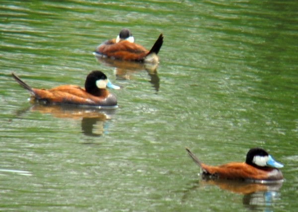 Ruddy Ducks frequently congregate in Sebasticook Lake in Newport.