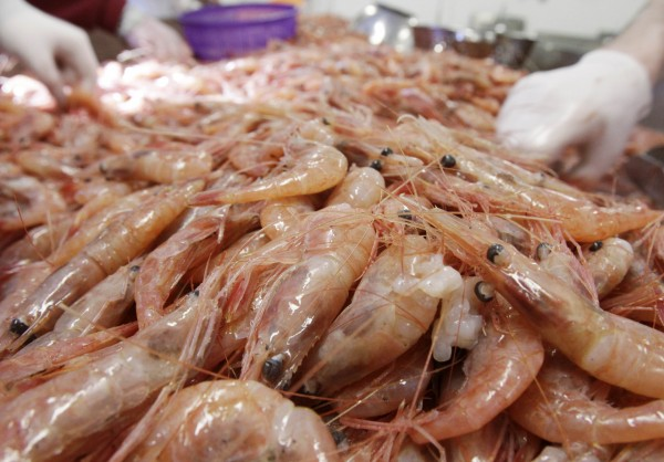 Freshly caught shrimp are processed at the Port Clyde Fresh Catch processing facility in Port Clyde in February 2011.